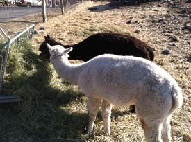 Alpacas Howie (white) and Raj (brown) enjoy one last breakfast together before leaving MSPCA-Nevins Farm (credit MSPCA-Angell)