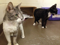 The first of the Lynnfield cats get ready for new lives in permanent homes (credit: MSPCA-Angell)