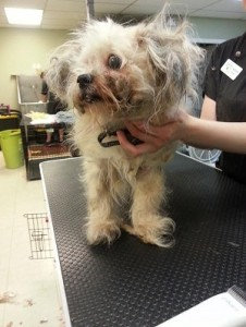 A blind and very scared Cinderella awaits her grooming session at the MSPCA-Nevins Farm (credit: MSPCA-Angell)