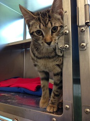 Adams peers from her temporary cage at the adoption center. She'll be ready for adoption soon after surgery to repair her broken leg (credit: MSPCA-Angell)