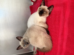 Two gorgeous Siamese cats, with four young kittens, arrived along with the Shih Tzus (credit: MSPCA-Angell)