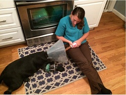 Lucy begins her recovery at home with her devoted caretaker, Jessica Cantone (credit: Jessica Cantone)