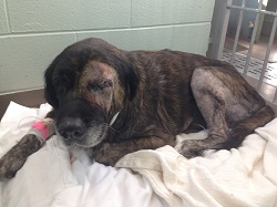 Photographed just after surgery to remove her cancerous eye and leg tumor, Bella is on the road to recovery (credit: MSPCA-Angell)