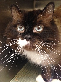The cats are undergoing treatment for upper respiratory infections but will likely be placed for adoption in about a week (credit: MSPCA-Angell)