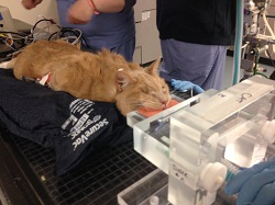 The Angell oncology team prepares Dolce for his latest IMRT treatment (credit: MSPCA-Angell)