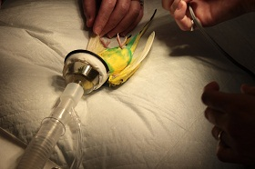 The Angell Animal Medical Center team took great care in preparing Birdie for her operation (credit: MSPCA-Angell)