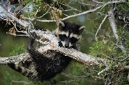 baby raccoon in tree resized