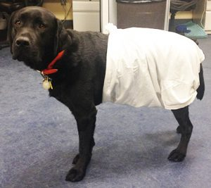 T-shirt with top knot to protect hindquarters wounds