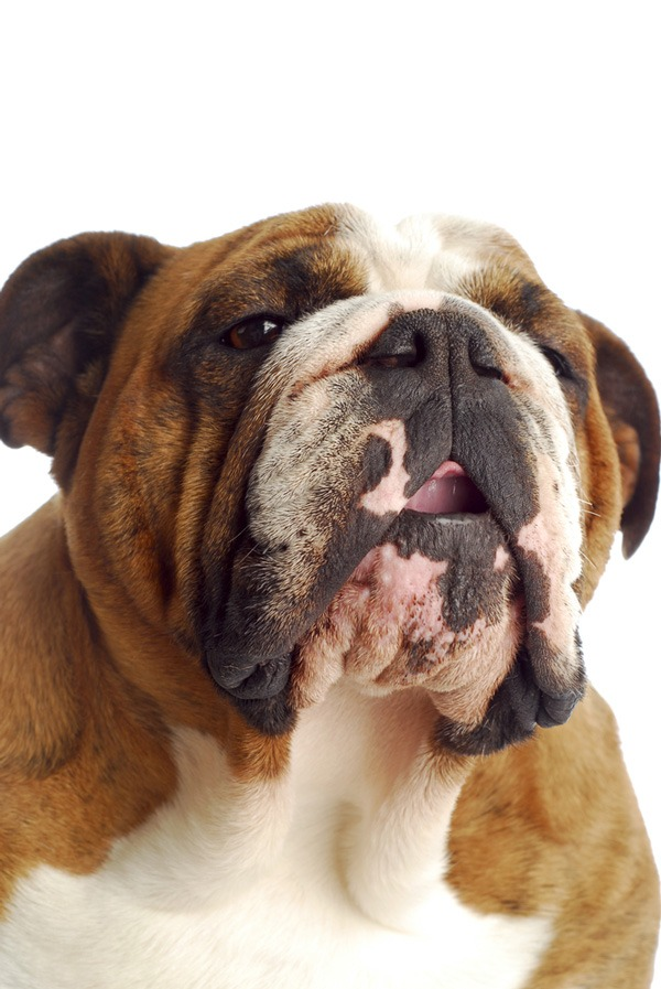Determining the Cause of Epistaxis in the Dog - MSPCA-Angell