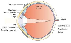 Fig. 1: The eye