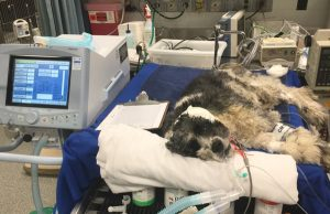 Angell patient, Rufus, on mechanical ventilation