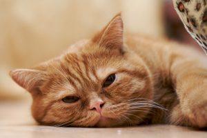 feline-constipation