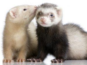 ferrets - shutterstock_3416360