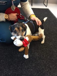 Rocky - 14yr old Jack Russell Terrier - first patient on 2 3 16