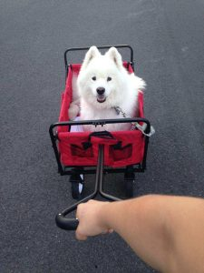 Blitzen rides around in style while he recovers from this TPLO