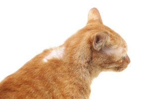 hair loss cat - shutterstock_327921473