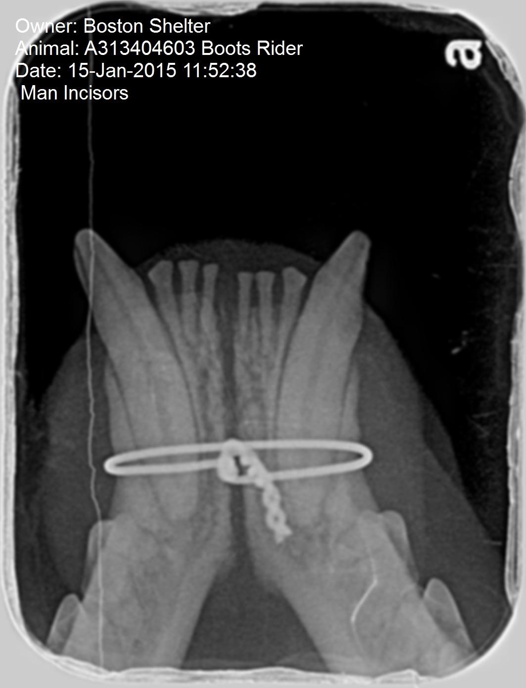 Mandibular Symphyseal Separation Repair In Cats Mspca Angell Jaw Wiring Surgery Fig 10 Post Operative Radiograph