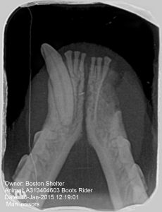 Fig 11. Final radiograph 4 weeks after initial repair. The left mandibular canine was extracted at wire removal