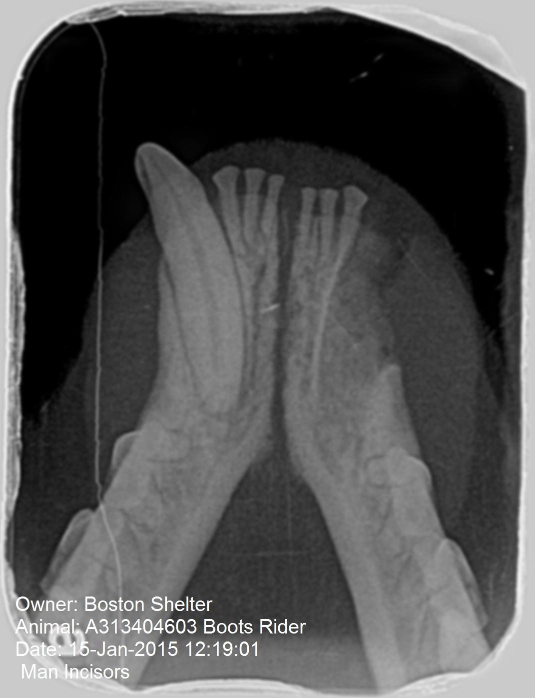 Mandibular Symphyseal Separation Repair in Cats - MSPCA-Angell