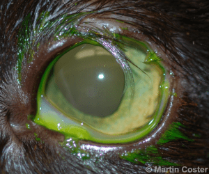 Figure 1 – Superior-lateral eyelid agenesis of the left eye of a cat; note the lack of a formed eyelid margin along with trichiasis – numerous long hairs lie on the corneal surface. Fluorescein dye has been applied to the eye.