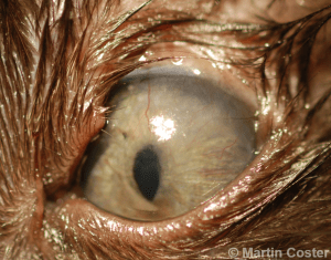 Figure 2 – Superior eyelid agenesis in a cat, with exposure keratitis (corneal vascularization and scarring).