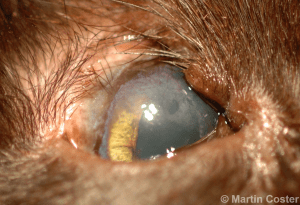 Figure 3 – Superior eyelid agenesis of the right eye of a cat; note the superior corneal pigmentation, vascularization, and generalized haze (scar tissue).