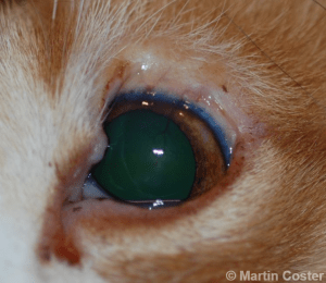 Figure 6 – The same cat from Figure 5, following resolution of post-operative swelling; the eyelid defect still exists but trichiasis has been alleviated.