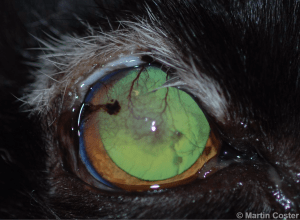 Figure 7 – Leukotrichia (whiteness of hair) following previous liquid nitrogen cryotherapy and epilation of trichiasis in feline agenesis. Note the ongoing trichiasis and keratitis. Cryotherapy was elected to be repeated in this case.