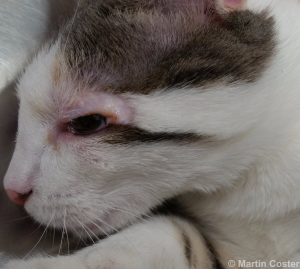 Figure 9 – Six month post-operative appearance of a cat following successful lip commissure to eyelid transposition surgery.
