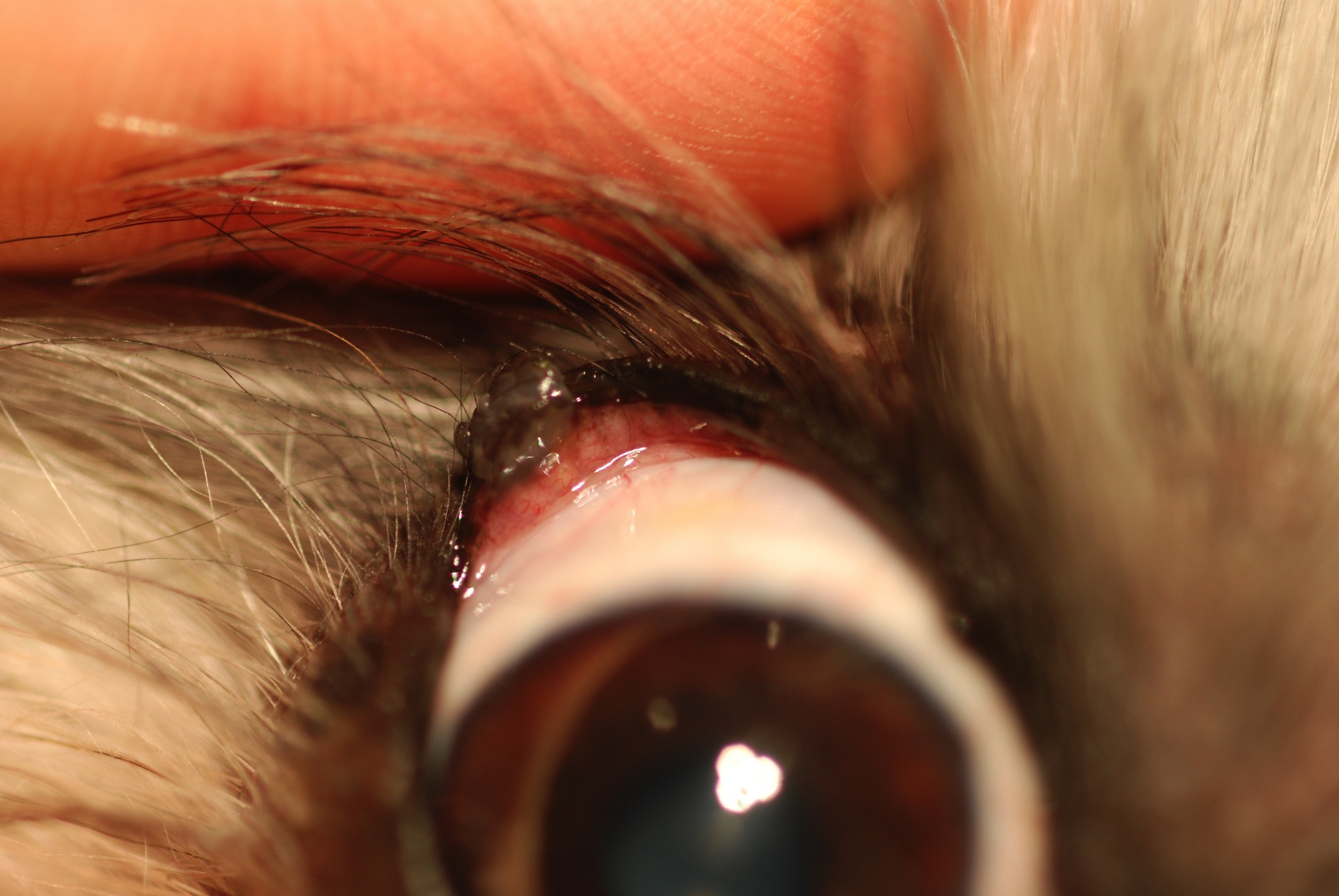 Eyelid Margin Masses In Dogs To Cut Or Not To Cut Mspca Angell