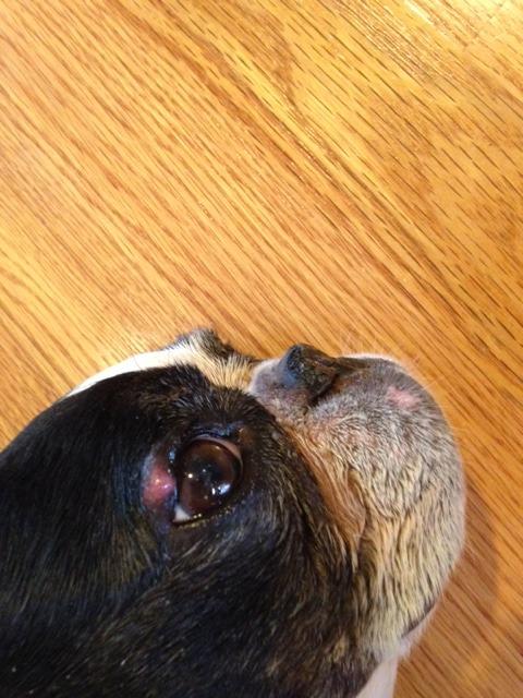 bump on dog eyelid