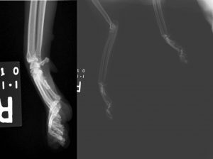 Image 1 – Collimating your x-ray exposure tightly to the area of interest will greatly improve the quality of your radiograph. On the right, attempting to capture both limbs and using very wide collimation results in a poor quality radiograph. On the left, same cat in same position, but with collimation tight over the right carpus.