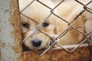 paid puppy_mill_shutterstock_104114993 web large