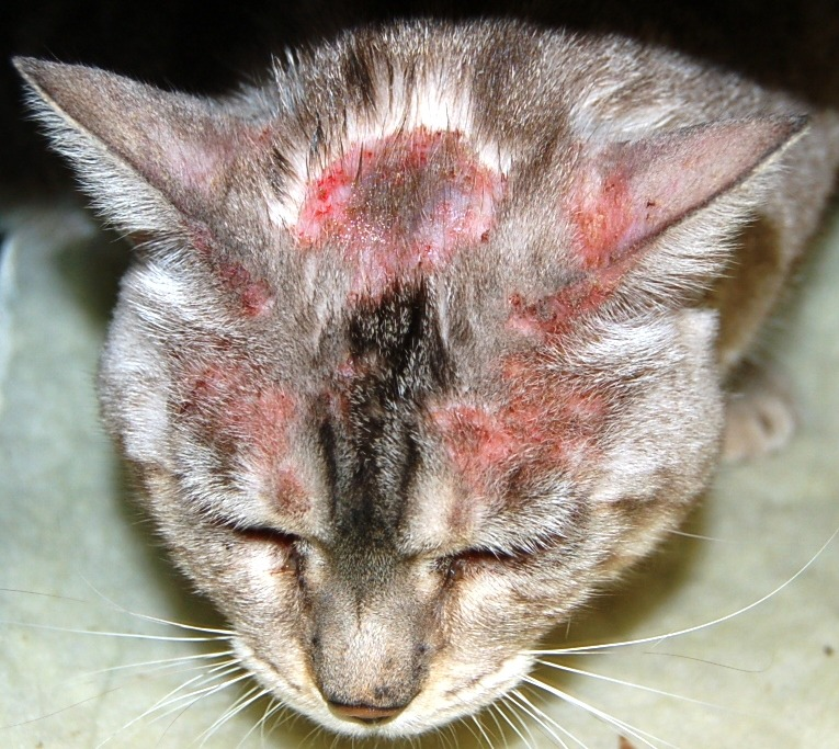 Image 1: Classic feline with mild to moderate miliary dermatitis on top of the head with erythema and alopecia