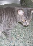 Gray Tiger