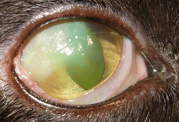 Cat Clinical Signs Yellow Eye Discharge