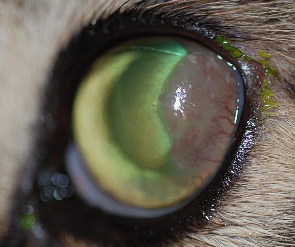 Feline Eosinophilic Keratitis Mspca Angell
