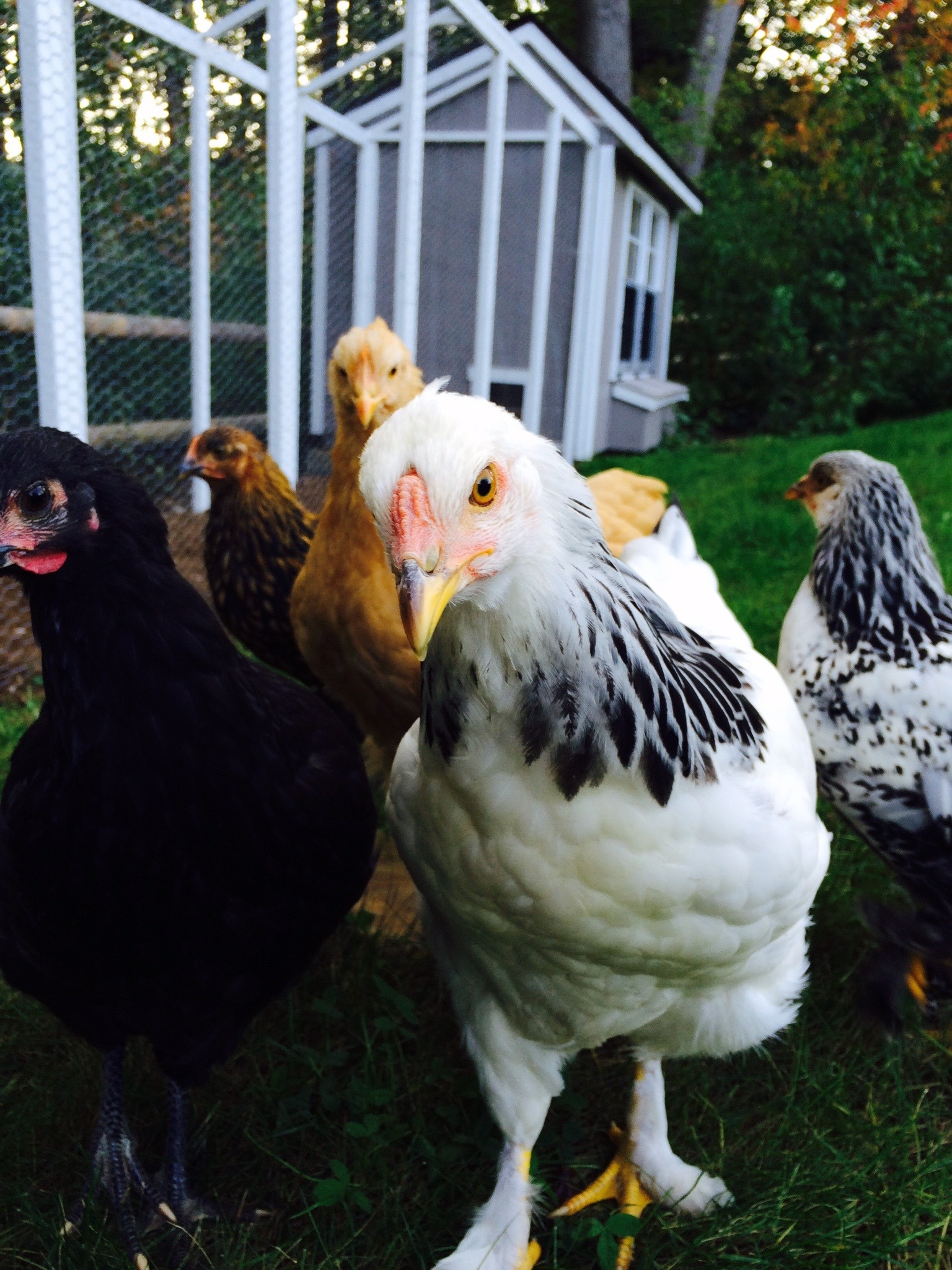 Approach to Respiratory Disease in Backyard Chickens • MSPCA