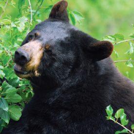 MSPCAAngell_black_bear