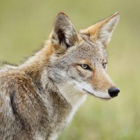 MSPCAAngell_coyote
