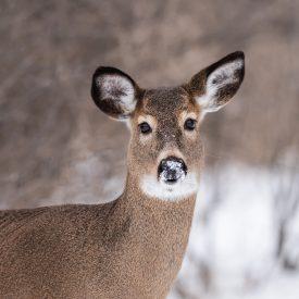 MSPCAAngell_deer