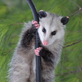 MSPCAAngell_opossum
