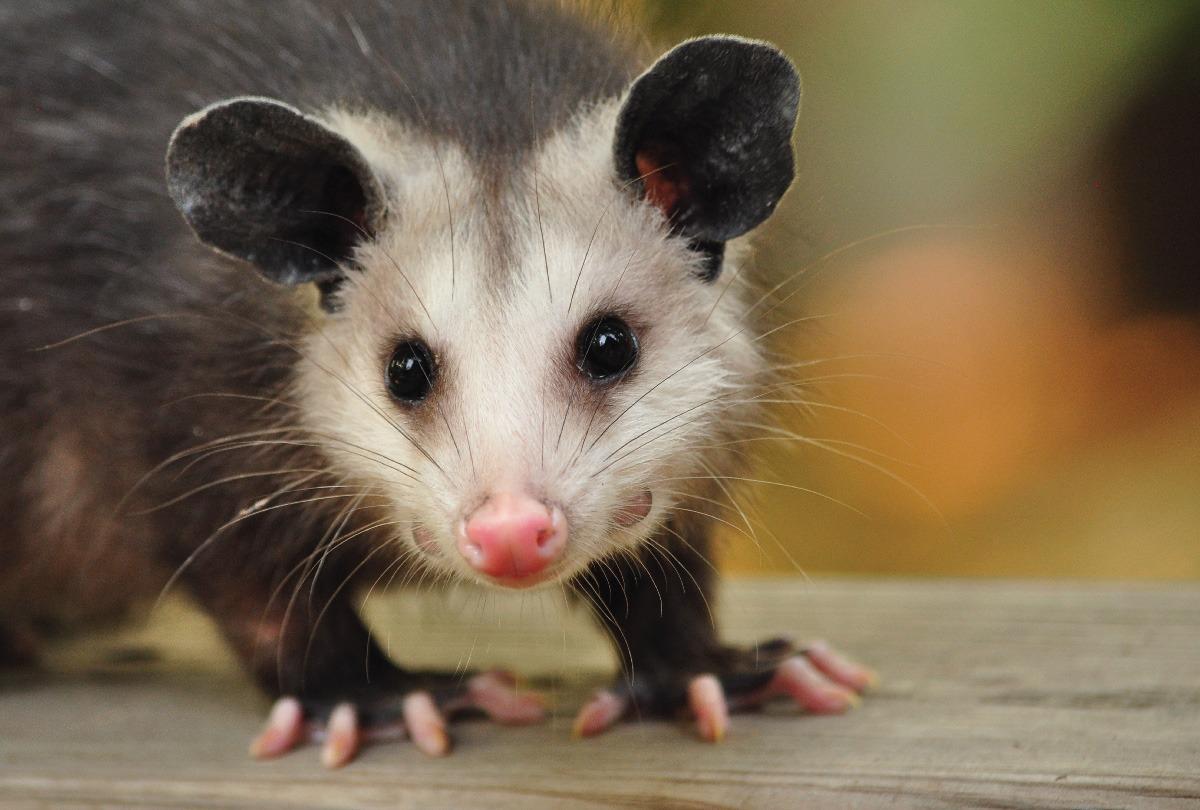 Pet Opossum - Anna Blog