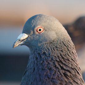 MSPCAAngell_pigeon