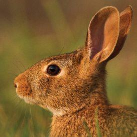 MSPCAAngell_rabbit