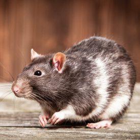 MSPCA_rat