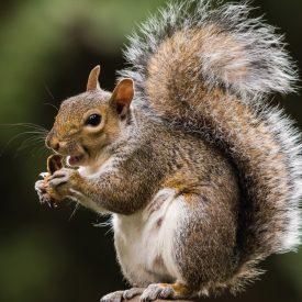 MSPCA_Squirrel